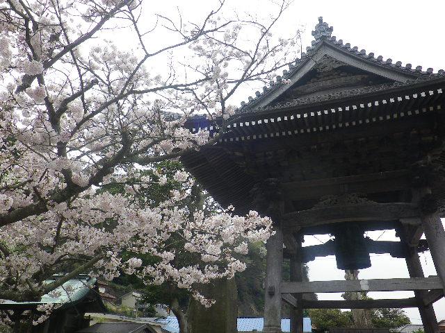 15)    17.04.10 鎌倉「光明寺」の桜