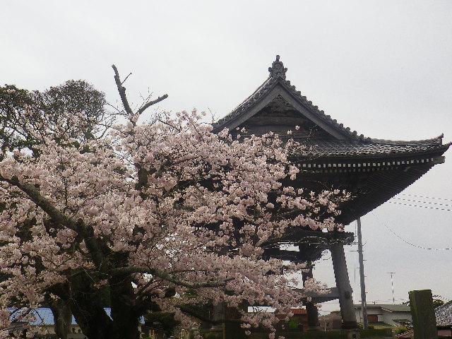 16)    17.04.10 鎌倉「光明寺」の桜