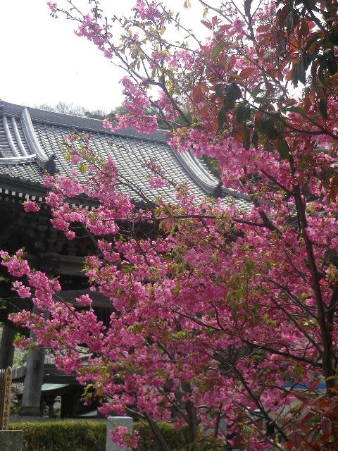 18-2)    17.04.10 鎌倉「光明寺」の桜