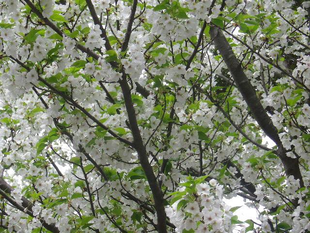 21-2)    17.04.10 鎌倉「光明寺」の桜