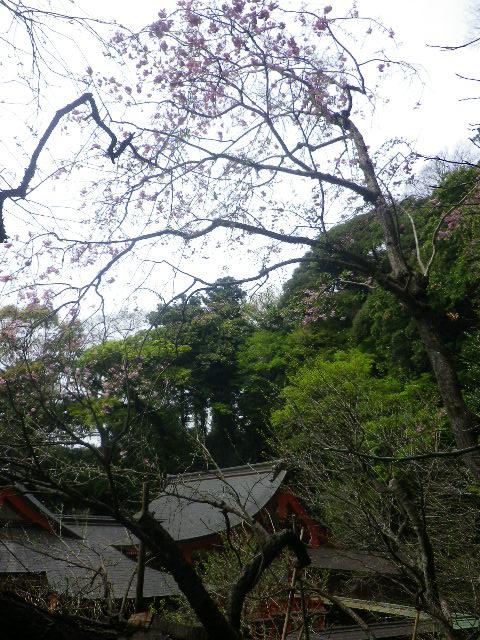 08-1)    17.04.10 鎌倉「荏柄天神社」の桜