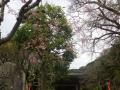 01-1)    17.04.10 鎌倉「荏柄天神社」の桜