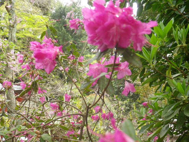 06-3)    17.04.10 鎌倉「荏柄天神社」の桜