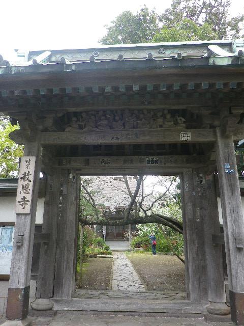 01)    山門 17.04.10 鎌倉「教恩寺」の桜 と リュウキュウバイ