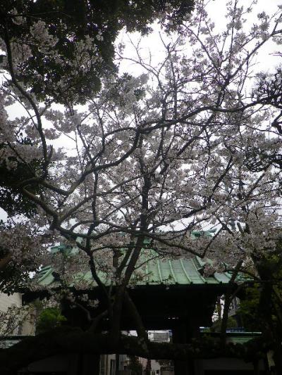 03) 山門を潜って振り向いた   17.04.10 鎌倉「教恩寺」の桜 と リュウキュウバイ