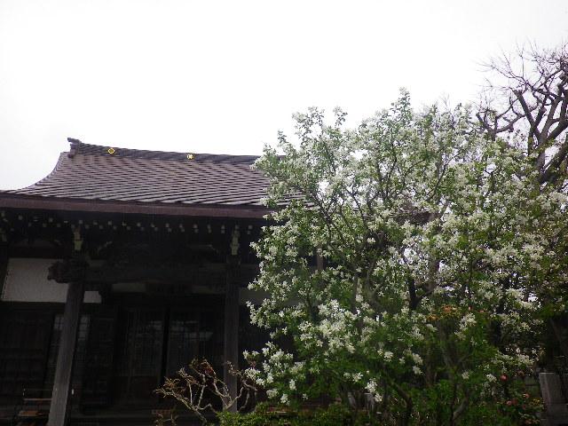 04)  本堂前のリュウキュウバイ  17.04.10 鎌倉「教恩寺」の桜 と リュウキュウバイ