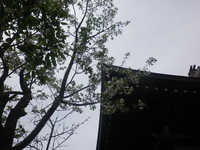 07-1) 本堂右前方の桜   17.04.10 鎌倉「教恩寺」の桜 と リュウキュウバイ