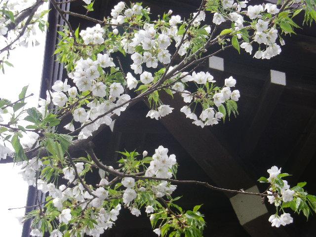 07-2)  本堂右前方の桜   17.04.10 鎌倉「教恩寺」の桜 と リュウキュウバイ