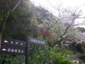 04-1)    17.04.10 鎌倉「私立 材木座幼稚園」の桜