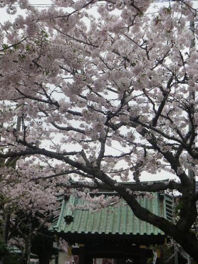 02-2)   17.04.10 鎌倉「妙隆寺」の桜