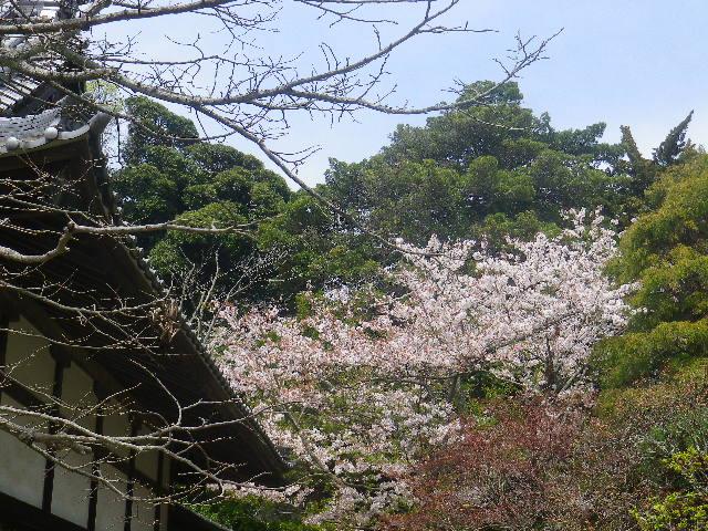02)   17.04.16 鎌倉「浄光明寺」 桜の花びらが風に舞う日
