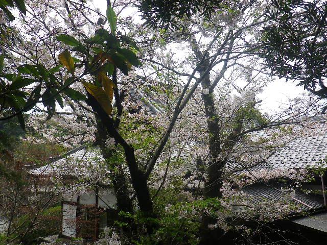03)   17.04.16 鎌倉「浄光明寺」 桜の花びらが風に舞う日