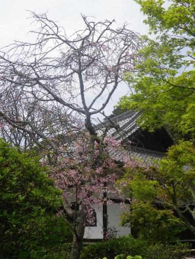 04-1)   17.04.16 鎌倉「浄光明寺」 桜の花びらが風に舞う日