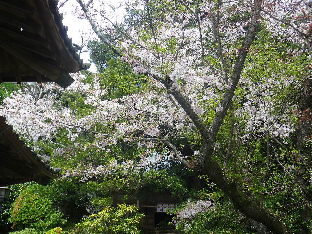 06-1)   17.04.16 鎌倉「浄光明寺」 桜の花びらが風に舞う日