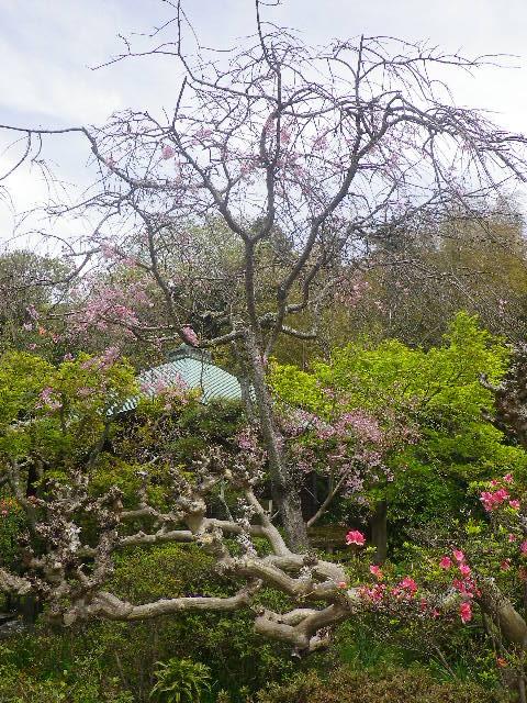 07-1)   17.04.16 鎌倉「浄光明寺」 桜の花びらが風に舞う日