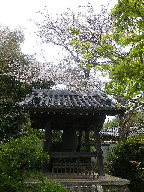 08-1)   17.04.16 鎌倉「浄光明寺」 桜の花びらが風に舞う日