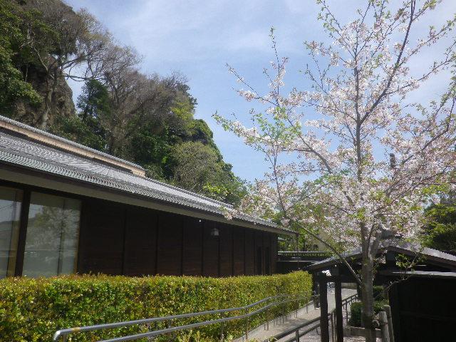 B02)   17.04.16 旧 川喜多邸の庭、桜の花びらが舞う日。