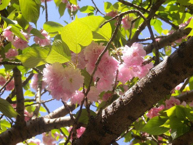 01-5) 八重桜のズームアップ   17.04.23 鎌倉「妙本寺」の八重桜、御衣黄(ギョイコウ)、シャガと新緑。