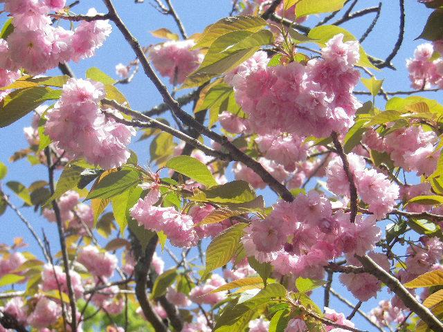 03-1)   写真03-00)左手前の八重桜をズームアップ  17.04.23 鎌倉「妙本寺」の八重桜、御衣黄(ギョイコウ)、シャガと新緑。