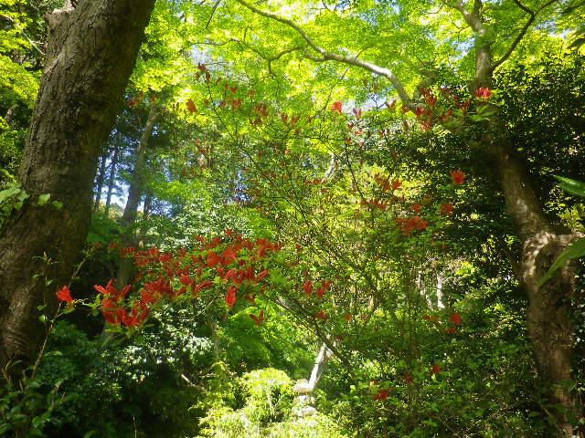 05-1) 祖師堂左側の低木で、新緑を背景に宙を舞うように見えた赤い花。   17.04.23 鎌倉「妙本寺」の八重桜、御衣黄(ギョイコウ)、シャガと新緑。