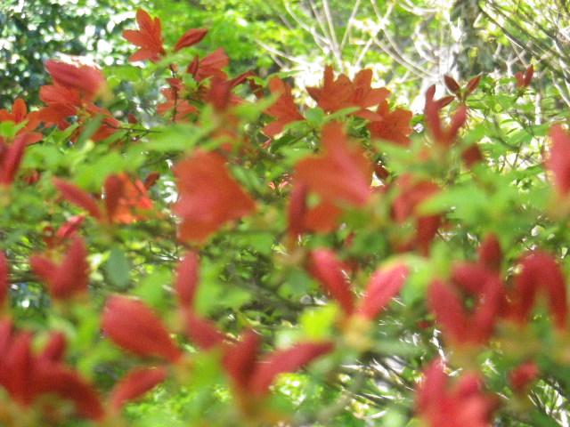 05-2)  祖師堂左側の低木で、新緑を背景に宙を舞うように見えた赤い花。  17.04.23 鎌倉「妙本寺」の八重桜、御衣黄(ギョイコウ)、シャガと新緑。