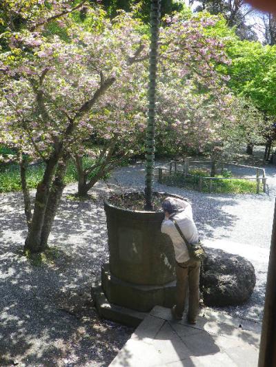 08-1) 祖師堂から、写真01-3)の海棠(と奥:八重桜)方向。   17.04.23 鎌倉「妙本寺」の八重桜、御衣黄(ギョイコウ)、シャガと新緑。