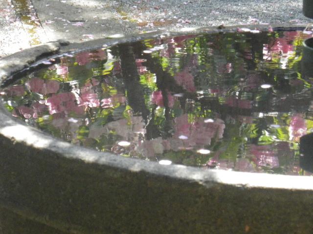 08-2) 前回17.04.02と同じく あざとい構図!を真似っ子したかったが、先客さまの撮影が長くて待ちきれなかったので08-1)からズームアップ。   17.04.23 鎌倉「妙本寺」の八重桜、御衣黄(ギ