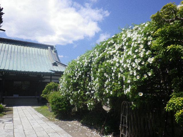 03-0)    17.04.23 鎌倉「九品寺」のナニワイバラ(難波茨)