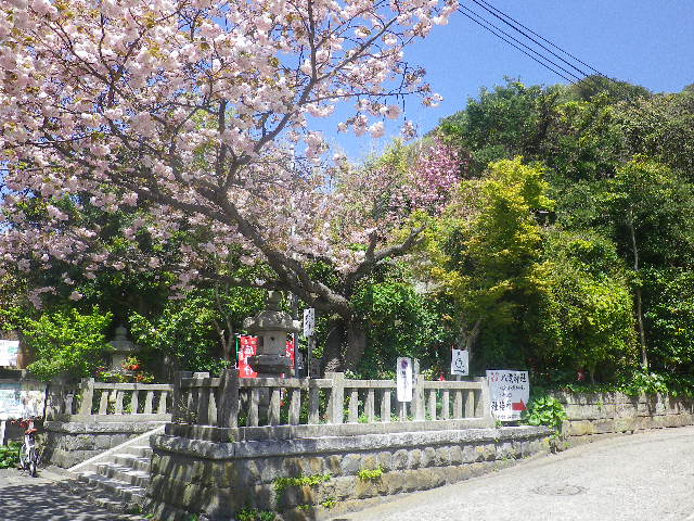 03)    17.04.23 鎌倉 大町「八雲神社」の八重桜