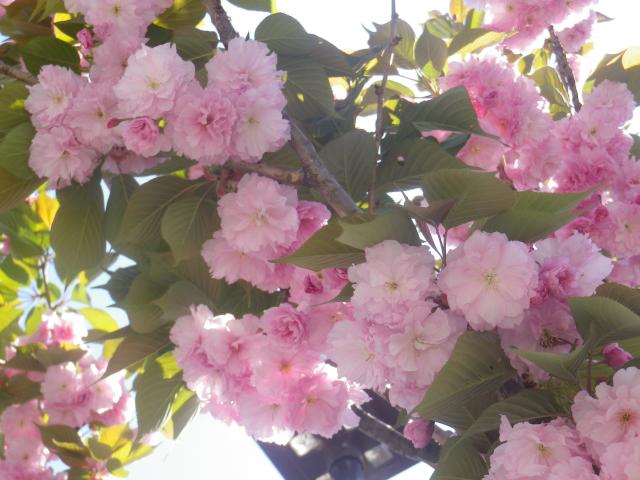 03)   17.04.23 鎌倉 ' 若宮大路 ' 沿いの八重桜