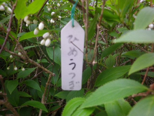 06-1) ひめうつぎ  _ 17.04.23 鎌倉「大巧寺」 晩春の庭