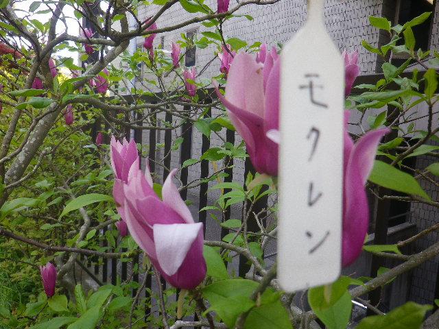 08-1) モクレン  _ 17.04.23 鎌倉「大巧寺」 晩春の庭