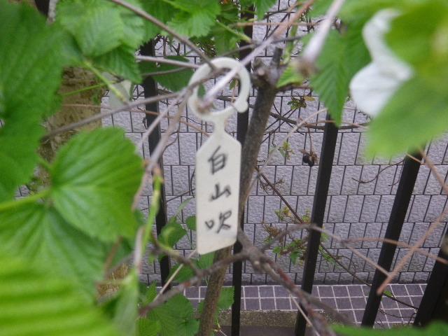 09-1) 白山吹  _ 17.04.23 鎌倉「大巧寺」 晩春の庭