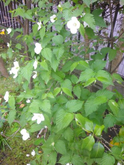 09-2) 白山吹  _ 17.04.23 鎌倉「大巧寺」 晩春の庭