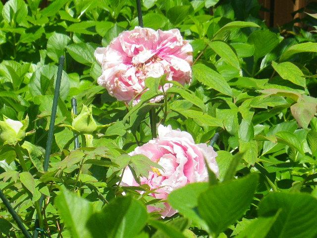 10-1) ? _ 17.04.23 鎌倉「大巧寺」 晩春の庭