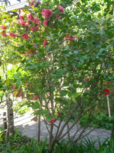 11-2) クラマーズシュープリーム  _ 17.04.23 鎌倉「大巧寺」 晩春の庭