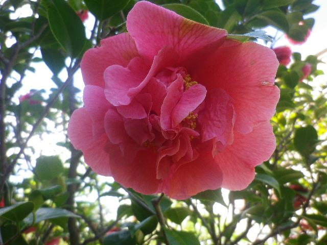 11-3) クラマーズシュープリーム  _ 17.04.23 鎌倉「大巧寺」 晩春の庭