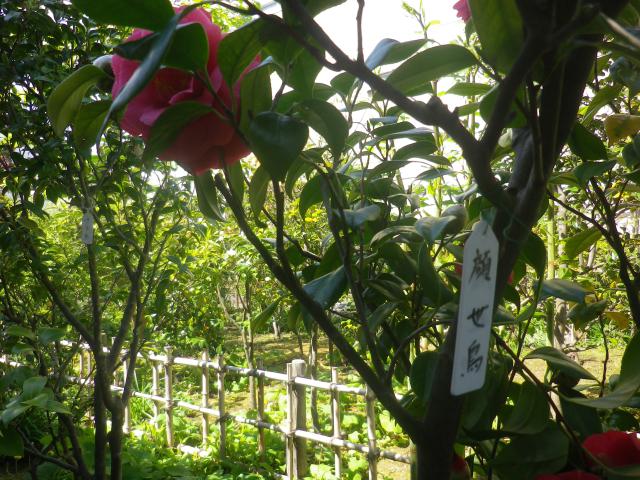 14-1) 名札の写真から ' 顔世鳥 ' と読めるのだけれども、私のWeb検索ではソレらしき項目がみつからない。  _ 17.04.23 鎌倉「大巧寺」 晩春の庭