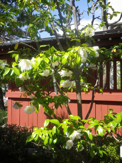 20-2) 大城冠(だいじょうかん _ 17.04.23 鎌倉「大巧寺」 晩春の庭