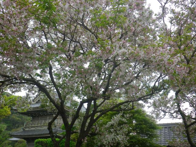 07-2右)  鎌倉「千手院」境内から、「光明寺」の山門 方向    17.04.22 鎌倉「千手院」の桜