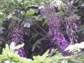 05)   17.05.04 地平線が丸く見えるほどの広大な敷地を有す某大邸宅の侘び寂びを採り入れた東屋風別館前の、藤が咲いた。