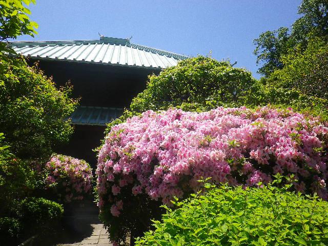 08-2)   他と同様に逆光を木の葉で遮って08-1)を撮ったが、試しにに撮った08-2)もヘボなりにも写っていた。 17.05.05端午  鎌倉「英勝寺」立夏。