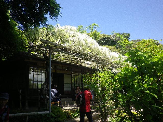 10)   白藤、書院前の藤棚。 17.05.05端午  鎌倉「英勝寺」立夏。