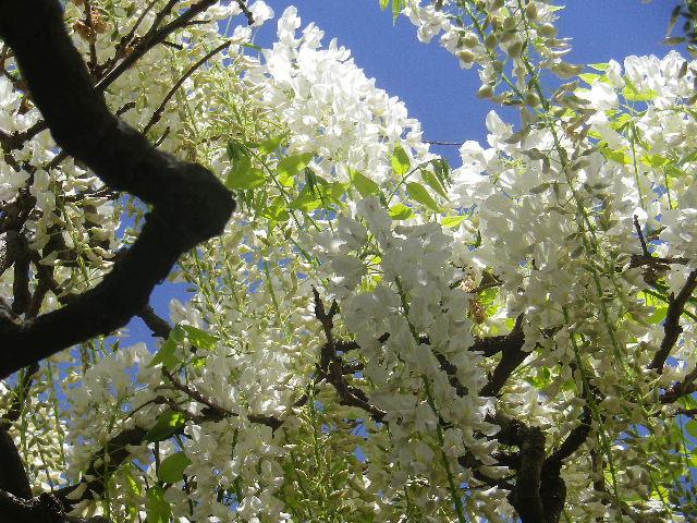 12-2)   白藤をズームアップ、書院前の藤棚。 17.05.05端午  鎌倉「英勝寺」立夏。
