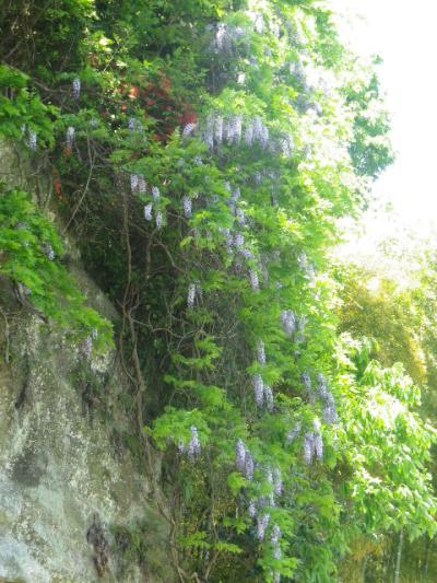 22-2)   英勝院墓塔上方崖の山藤 17.05.05端午  鎌倉「英勝寺」立夏。