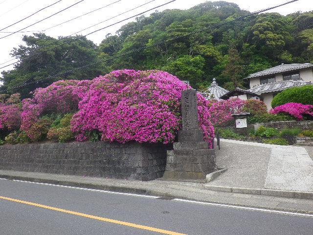 04)   17.05.09 鎌倉「安養院」の 咲き揃ったツツジ