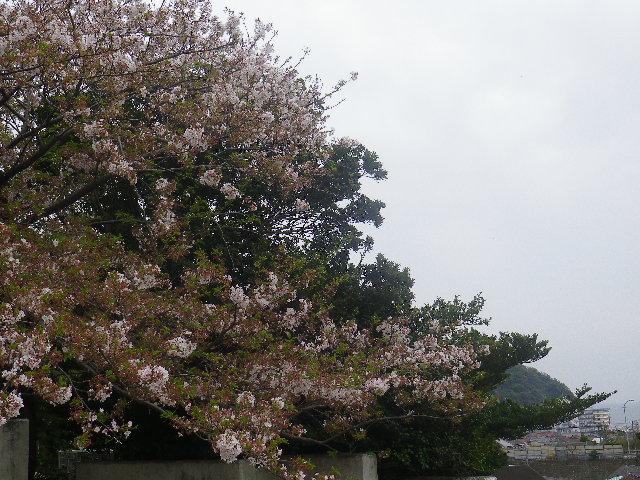 02-1)   17.04.17 近所の山桜などをテキトーに撮った