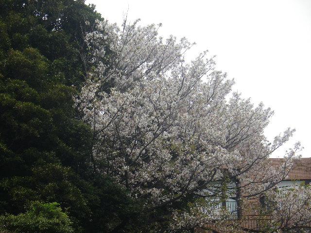 03-1)   17.04.17 近所の山桜などをテキトーに撮った