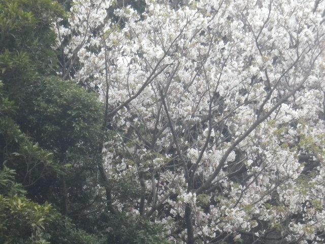 03-2)   17.04.17 近所の山桜などをテキトーに撮った