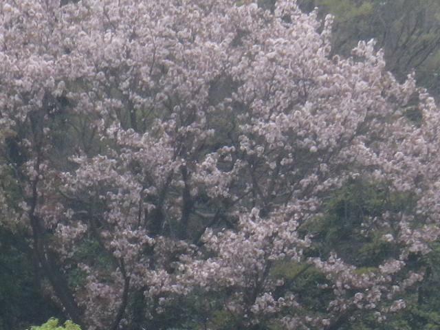 04-3)   17.04.17 近所の山桜などをテキトーに撮った